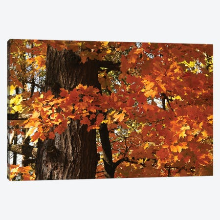 Maple Leaves Canvas Print #BWF570} by Brian Wolf Canvas Art