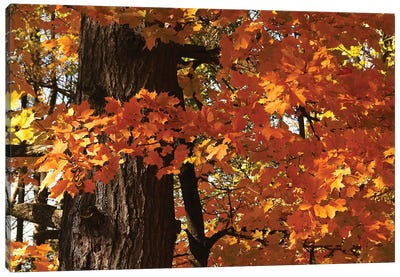Maple Leaves Canvas Art Print