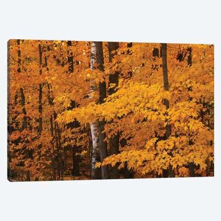 Maple Forest Canvas Print #BWF571} by Brian Wolf Canvas Art