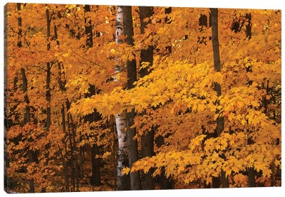 Maple Forest Canvas Art Print