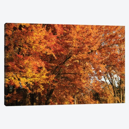 Stand Of Orange Maples Canvas Print #BWF572} by Brian Wolf Canvas Art