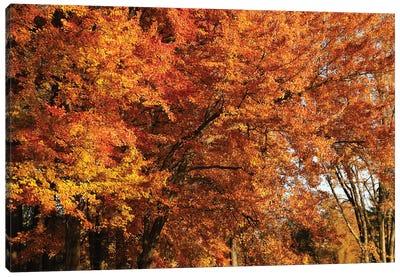 Stand Of Orange Maples Canvas Art Print