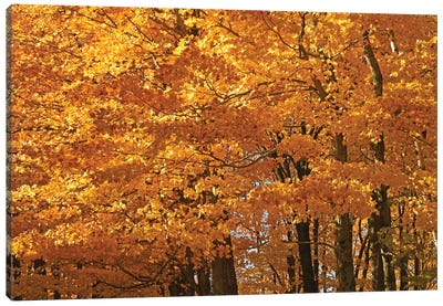 Sunshine Maples Canvas Art Print