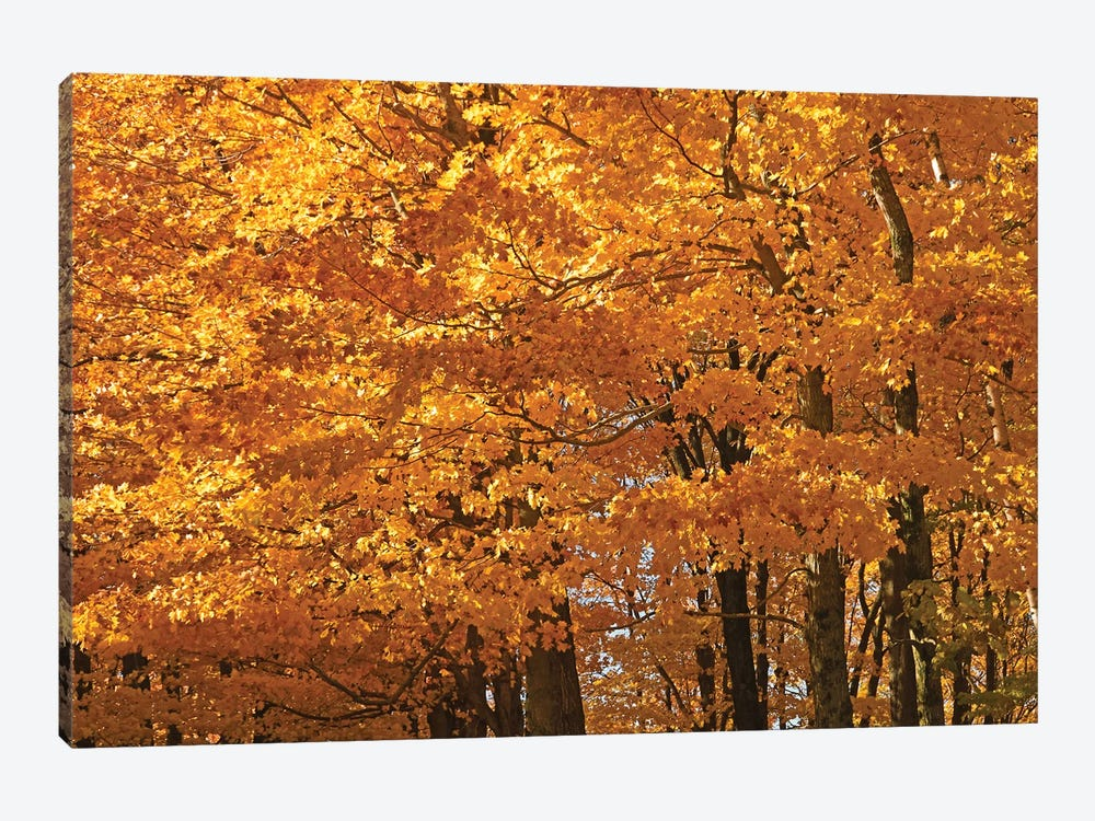 Sunshine Maples by Brian Wolf 1-piece Canvas Print