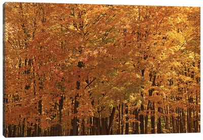 Maple Forest At Peak Canvas Art Print