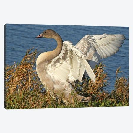 Big Stretch - Trumpeter Swan Cygnet Canvas Print #BWF581} by Brian Wolf Art Print