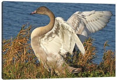 Big Stretch - Trumpeter Swan Cygnet Canvas Art Print