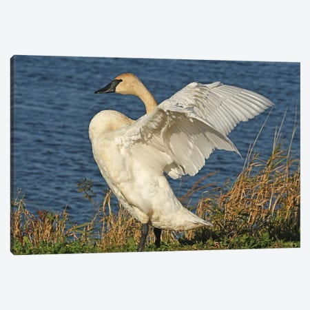 Stretching - Trumpeter Swan Canvas Print #BWF582} by Brian Wolf Canvas Art Print
