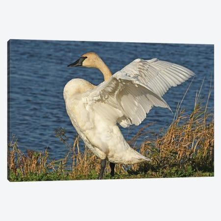 Stretching - Trumpeter Swan Canvas Print #BWF582} by Brian Wolf Canvas Art Print