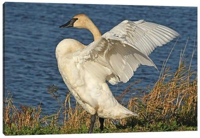 Stretching - Trumpeter Swan Canvas Art Print