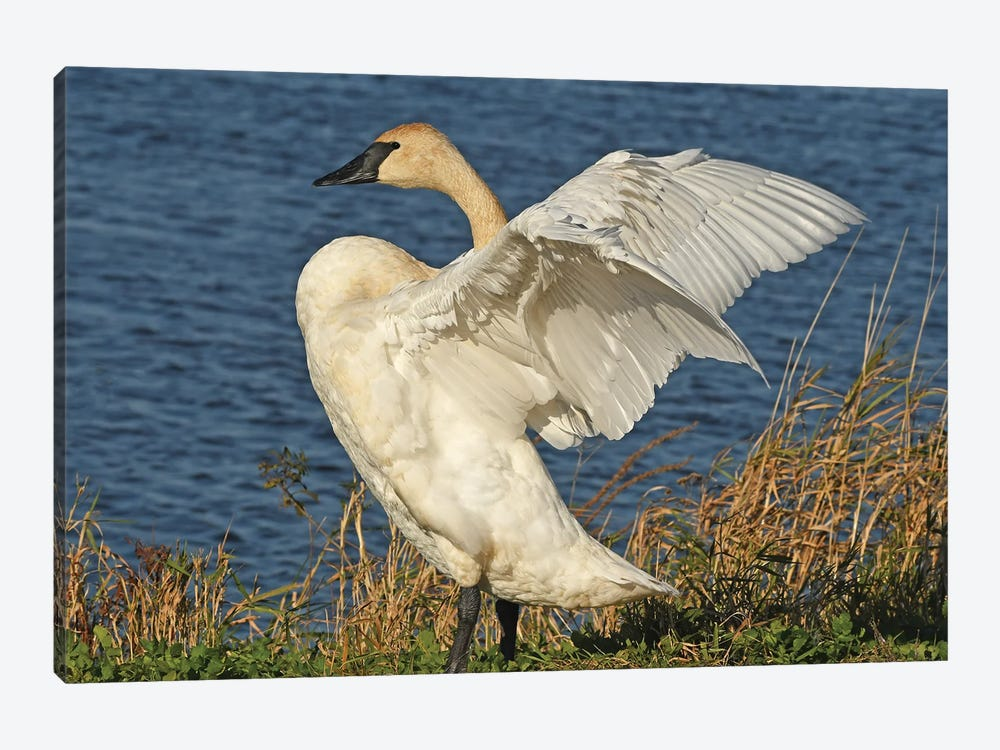 Stretching - Trumpeter Swan by Brian Wolf 1-piece Canvas Print