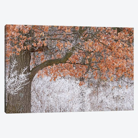 Rime Ice And Oak Tree Canvas Print #BWF588} by Brian Wolf Art Print