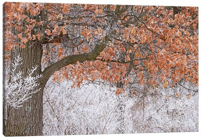 Rime Ice And Oak Tree Canvas Art Print