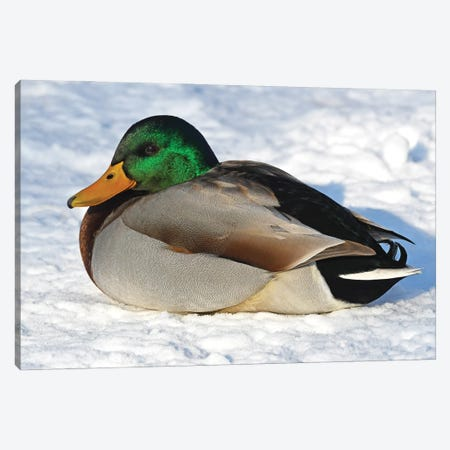 Cold Duck Canvas Print #BWF594} by Brian Wolf Canvas Print