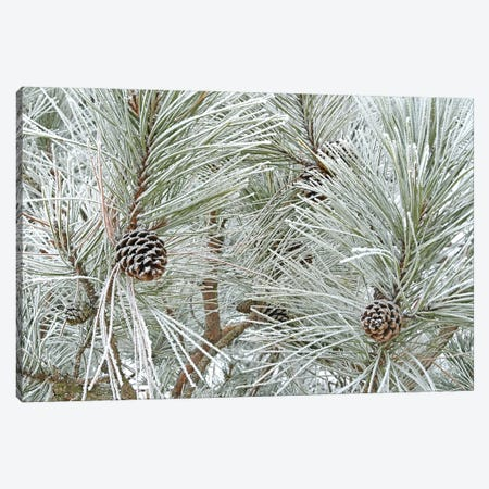 Pine Cones And Rime Ice Canvas Print #BWF598} by Brian Wolf Canvas Artwork