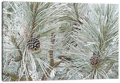 Pine Cones And Rime Ice Canvas Art Print