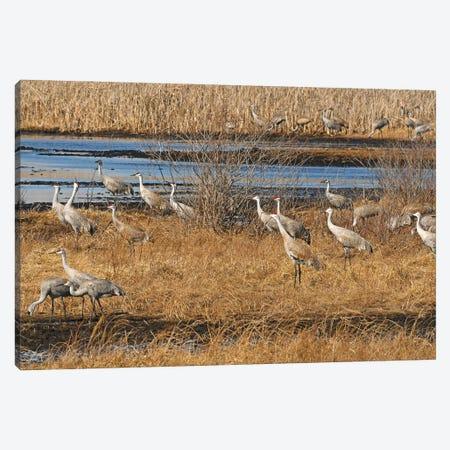 Sandhill Crane Migration Canvas Print #BWF606} by Brian Wolf Art Print