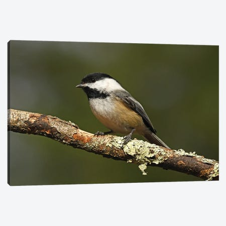 Black-capped Chickadee Canvas Print #BWF610} by Brian Wolf Canvas Print