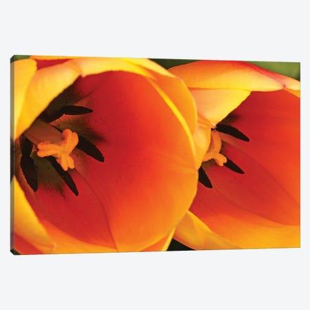 Orange Tulips Up Close Canvas Print #BWF613} by Brian Wolf Canvas Art Print