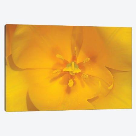 Yellow Tulip Macro Canvas Print #BWF615} by Brian Wolf Canvas Artwork