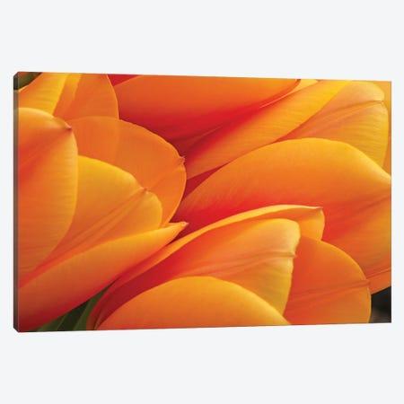 Orange Tulips Canvas Print #BWF616} by Brian Wolf Canvas Wall Art
