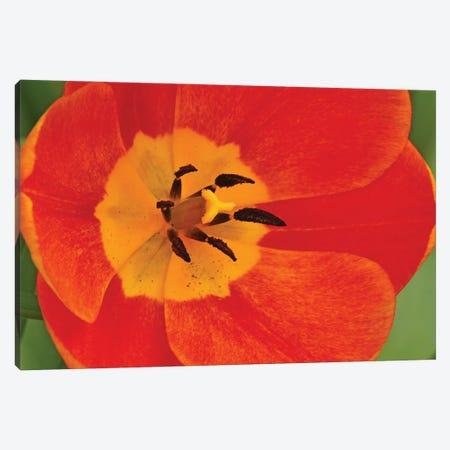 Orange Tulip In Detail Canvas Print #BWF617} by Brian Wolf Canvas Art