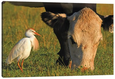 Cattle Egret Canvas Art Print
