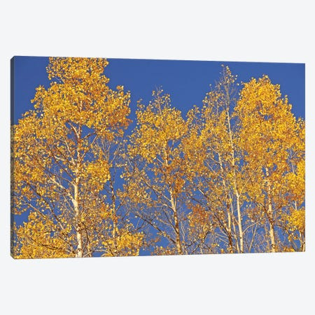 Blue Sky Aspens Canvas Print #BWF61} by Brian Wolf Canvas Print