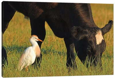 Cattle Egret And Cow Canvas Art Print