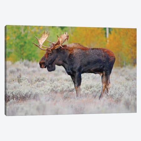 Bull Moose Canvas Print #BWF67} by Brian Wolf Canvas Art