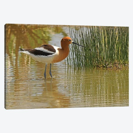 American Avocet Canvas Print #BWF8} by Brian Wolf Canvas Print