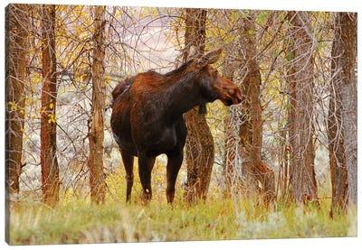 Cow Moose Canvas Art Print