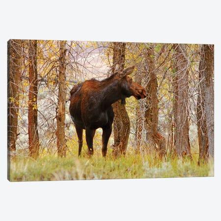 Cow Moose Canvas Print #BWF99} by Brian Wolf Canvas Wall Art