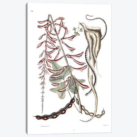 Little Brown Bead Snake & Erithryna Herbacea (Cardinal Spear) Canvas Print #CAT100} by Mark Catesby Canvas Artwork
