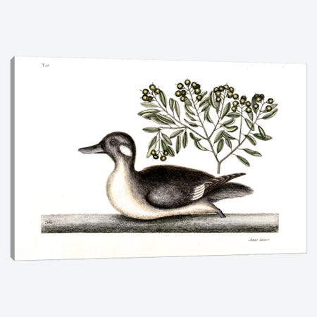Little Brown Duck & Soap-Wood Canvas Print #CAT101} by Mark Catesby Canvas Wall Art