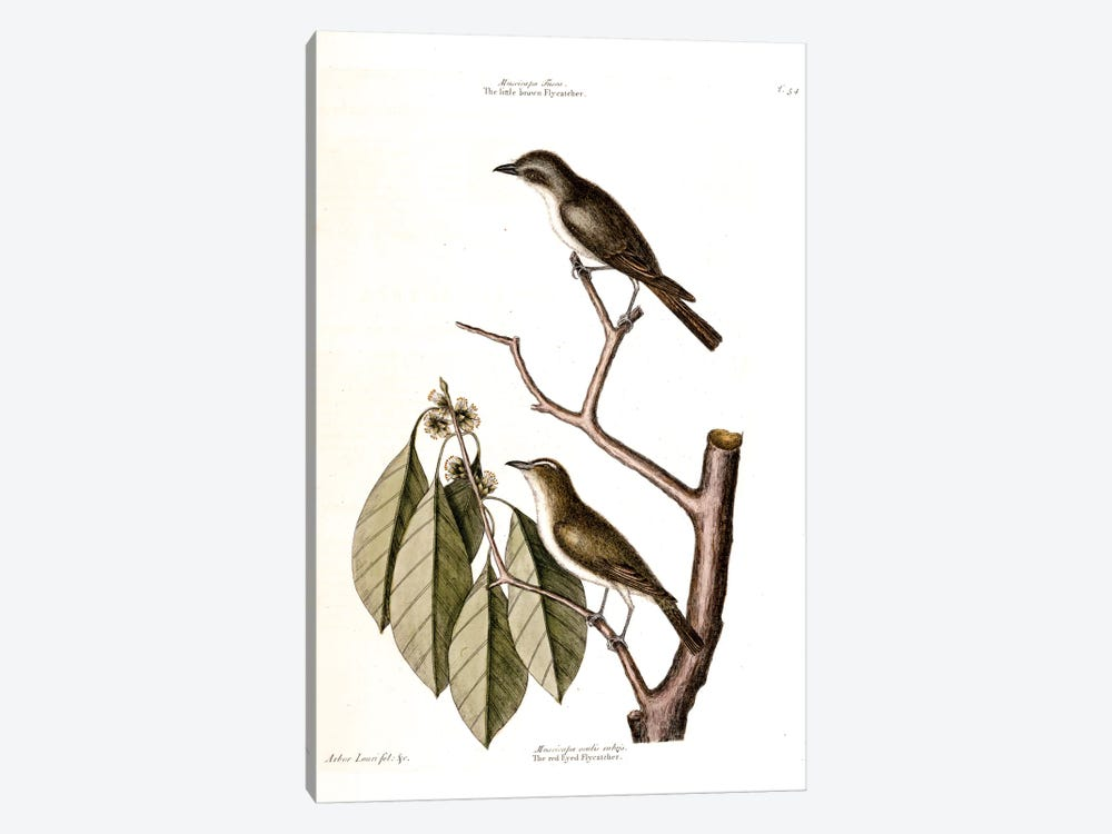 Little Brown Flycatcher, Red-Eyed Flycatcher & Hopea Tinetoria by Mark Catesby 1-piece Canvas Wall Art