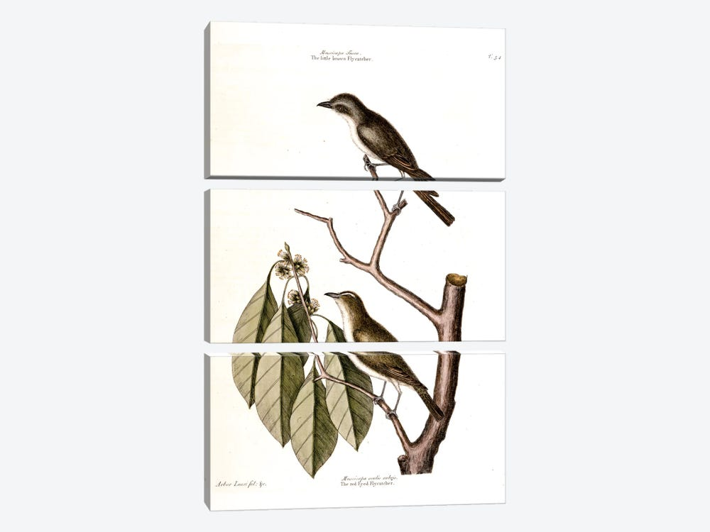 Little Brown Flycatcher, Red-Eyed Flycatcher & Hopea Tinetoria by Mark Catesby 3-piece Canvas Wall Art