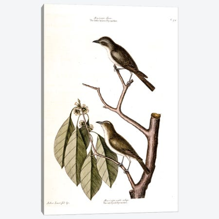 Little Brown Flycatcher, Red-Eyed Flycatcher & Hopea Tinetoria Canvas Print #CAT102} by Mark Catesby Canvas Artwork