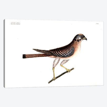 Little Hawk Canvas Print #CAT103} by Mark Catesby Canvas Wall Art