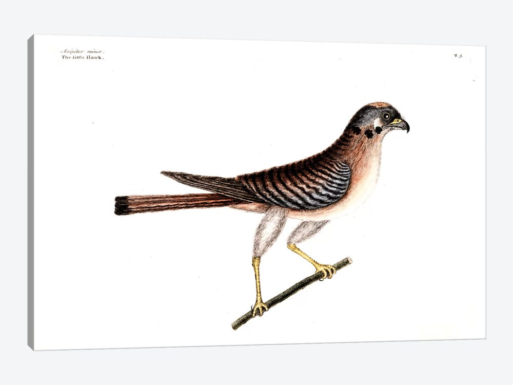 Little Hawk by Mark Catesby 1-piece Canvas Art Print