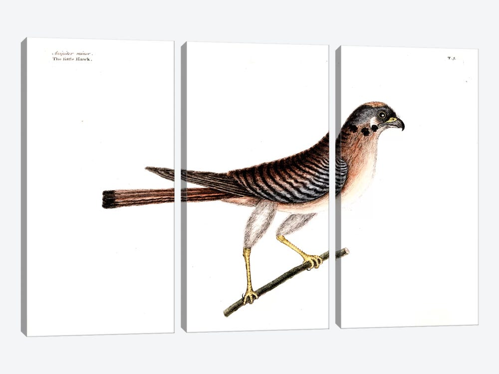 Little Hawk by Mark Catesby 3-piece Canvas Art Print