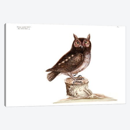 Little Owl Canvas Print #CAT104} by Mark Catesby Art Print