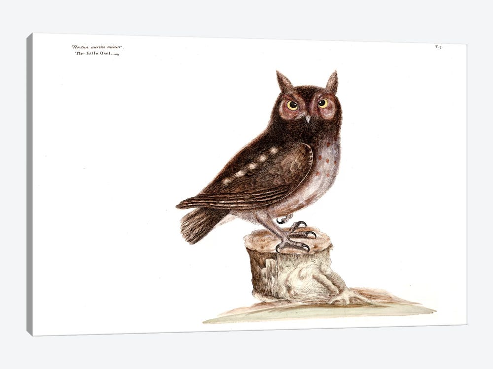 Little Owl by Mark Catesby 1-piece Canvas Art