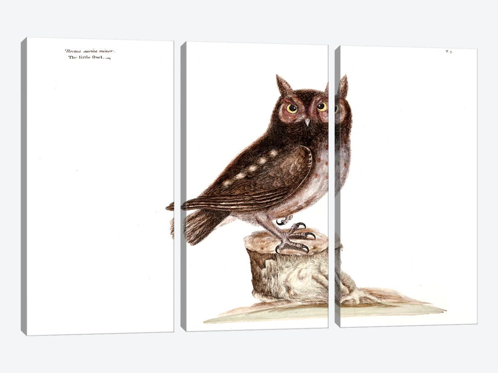 Little Owl by Mark Catesby 3-piece Canvas Wall Art