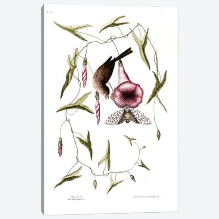 Little Sparrow & Purple Bindweed Of Carolina Canvas Print #CAT105} by Mark Catesby Canvas Art Print