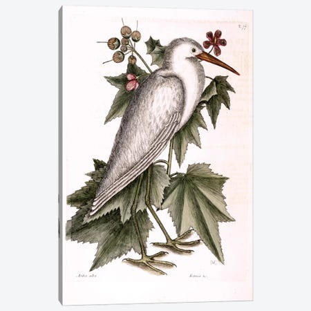 Little White Heron & Ketmia Frutescens Glauca Canvas Print #CAT107} by Mark Catesby Art Print