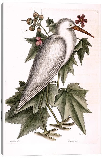 Little White Heron & Ketmia Frutescens Glauca Canvas Art Print