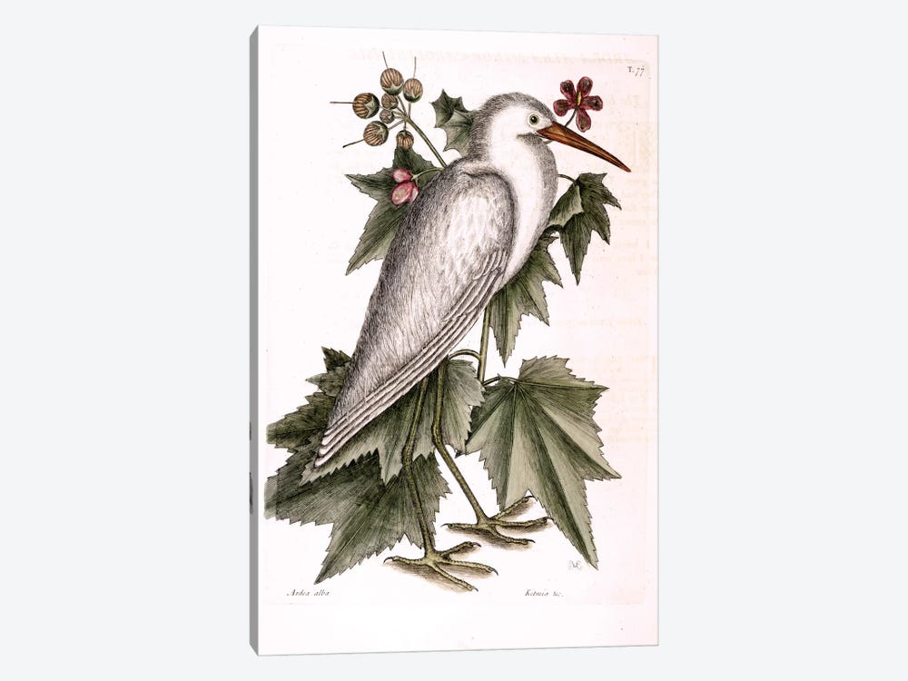 Little White Heron & Ketmia Frutescens Glauca by Mark Catesby 1-piece Canvas Print