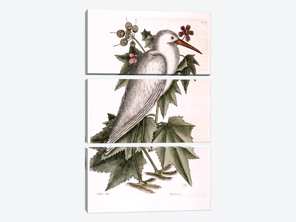 Little White Heron & Ketmia Frutescens Glauca by Mark Catesby 3-piece Canvas Art Print