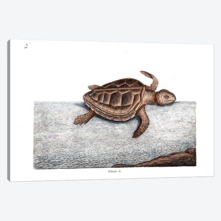 Loggerhead Turtle Canvas Print #CAT108} by Mark Catesby Canvas Wall Art